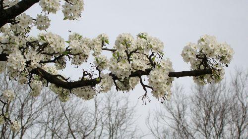 flower crabapple white