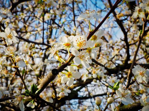 flower schlehe spring