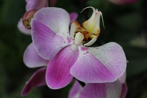 gėlė,orchidėja,žiedlapis,botanika,atogrąžų