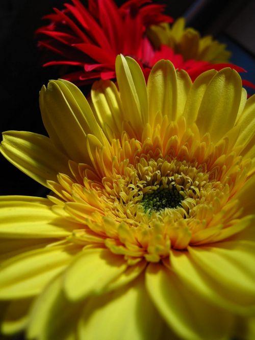 gėlė,geltona,raudona,žiedlapiai,geltona širdis,juodas fonas,flora,augalas,gėlės,Gerbera,gamta,makro,žalias,botanika,augalai,sodas,žydėjimas,tapetai
