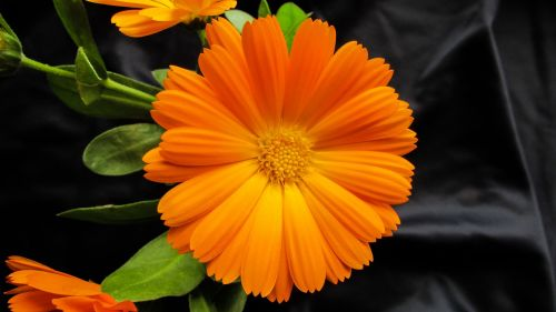marigold calendula officinalis flower