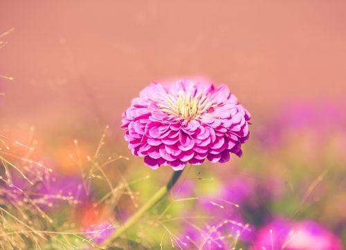 gėlė,žiedas,žydėti,rožinis,gamta,augalas,vasara,žydėti,sodas