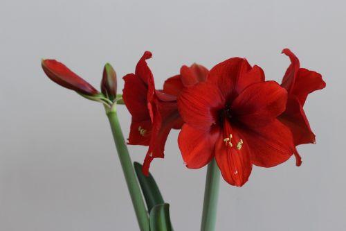 flower hippeastrum red