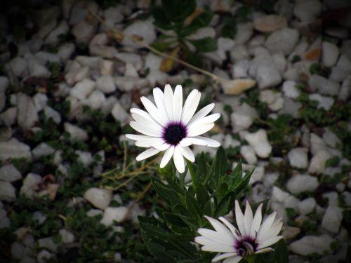 flower dark petals