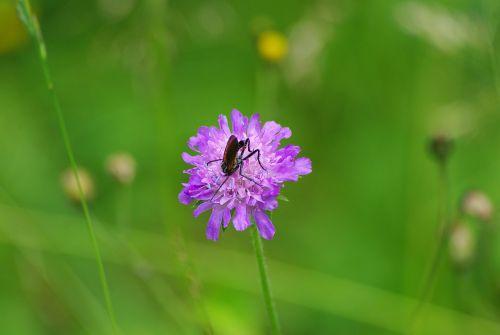 gėlė,dobilas,vabzdys,pieva,žalias,gamta,violetinė,violetinė,Natūralus grožis,Iš arti,spalvinga,violetinė,vasara,natūralus