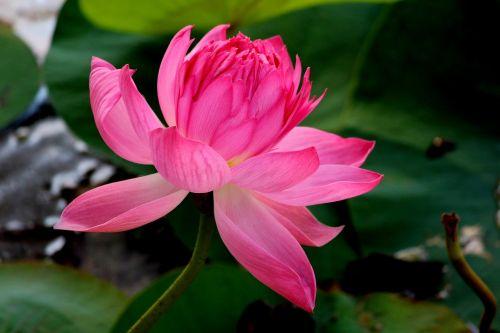 gėlė,lotosas,Indija