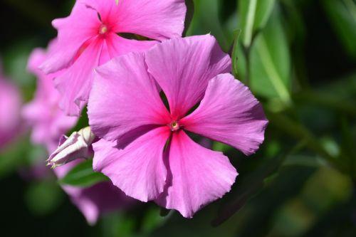 jamaican vinca periwinkle pink flower