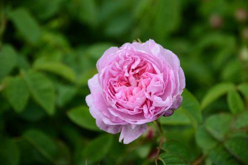 flower pink centifolia