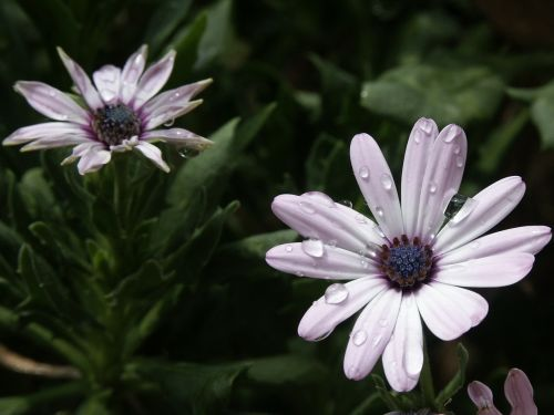 african daisy flower violet