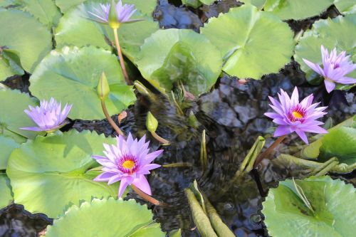 flower lilly pad water