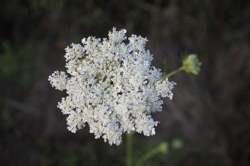 lace flower daucus carota