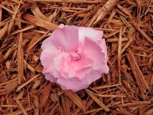 flower oleander flower plant