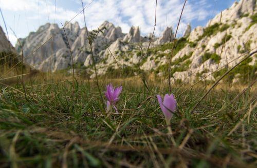 herbstzeitlose flower meadow