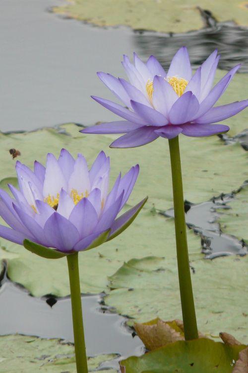 flower waterlily lake