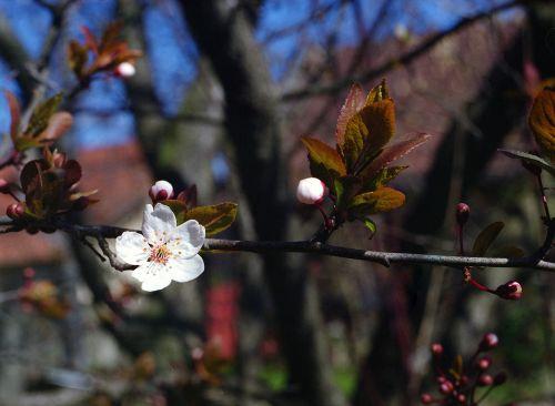 gėlė,slyva,pavasaris,žydėti,augimas,gamta,žiedas,žiedlapis,sezonas,filialas,nuostabus,patrauklus,gyvas,gyvas,sodas
