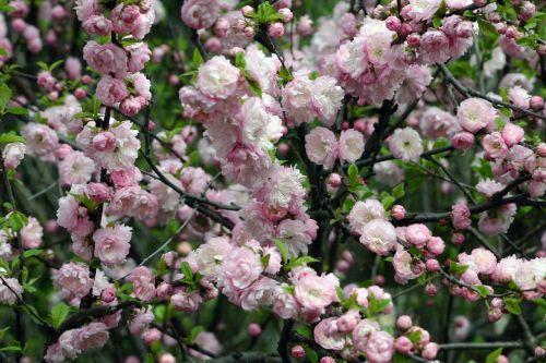 flower shrub spring
