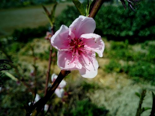 flower almond tree spring