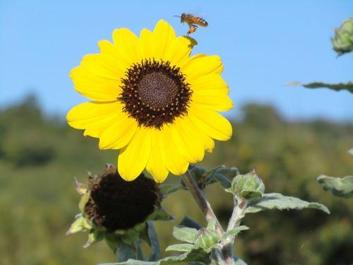 sunflower blue sky yellow