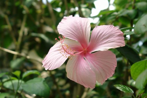 flower hibiscus sabdariffa