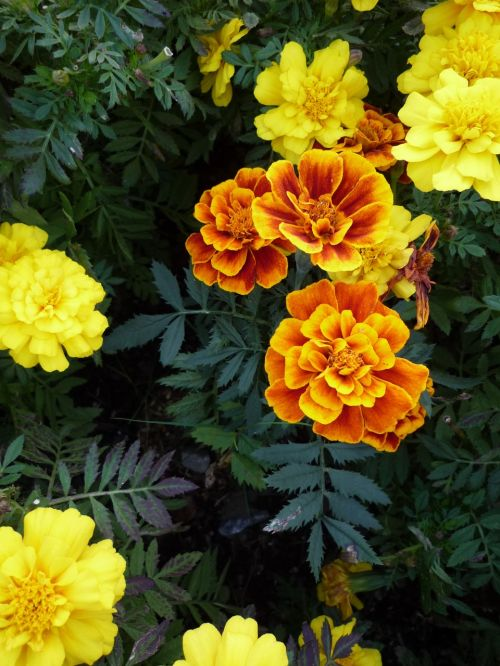 flower marigolds lutein