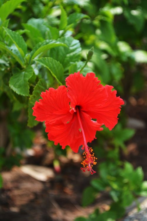 flower,hibiscus,beautiful,red