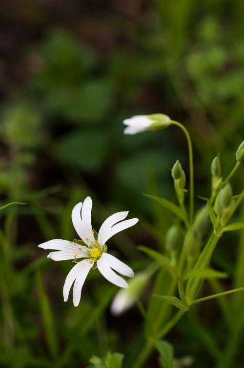 stellaria flower chickweed