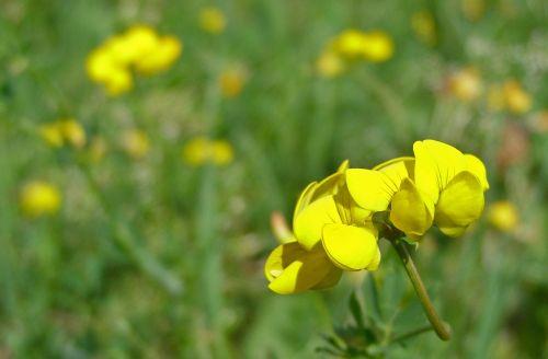 flower yellow meadow