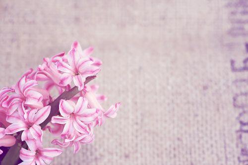 gėlė,gėlės,rožinis,pavasario gėlė,rožinė gėlė,hiacintas,kvepianti gėlė,Uždaryti,teksto laisvė,neigiama erdvė