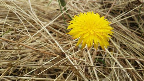 flower sonchus oleraceus meadow