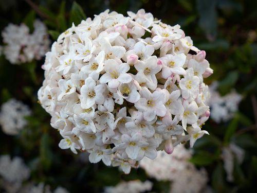 flower snow ball blossom