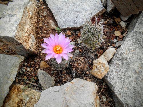 flower desert cactus