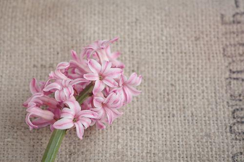 gėlė,hiacintas,gėlės,rožinis,rožinė gėlė,pavasario gėlė,pavasaris,kvepianti gėlė,schnittblume,aromatingas,Uždaryti