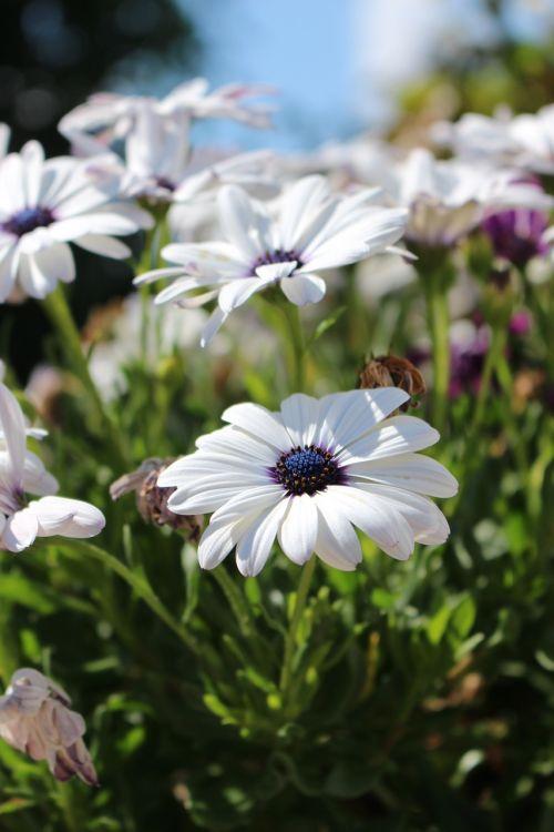 gėlė,gėlės,natūralus,balta,balta gėlė,baltos gėlės,vasara,gražus,lauke,denmark,Danijos vasara,fonas,sol,šventė,danish,turėti