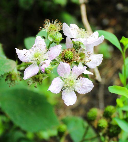 flower blackberry garden