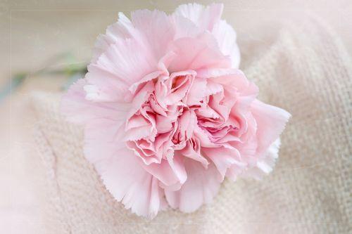 flower carnation pink
