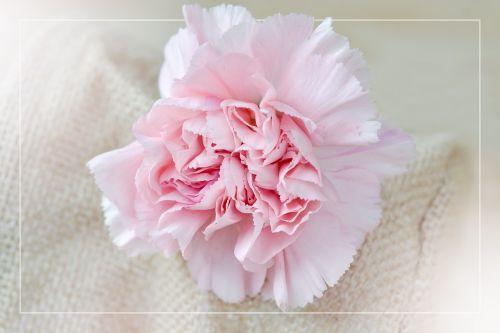 flower clove blossom pink