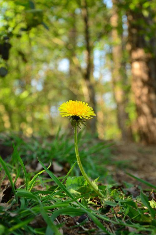 flower dandelion fores