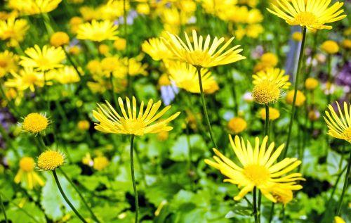 gėlė,žiedas,žydėti,geltona,asteraceae doronicum orientale,pavasaris