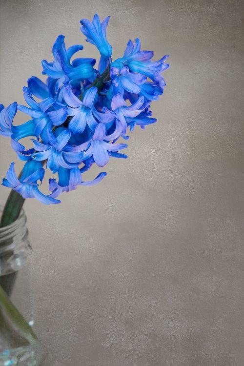 flower hyacinth flowers