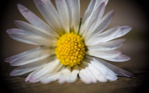 flower daisy close
