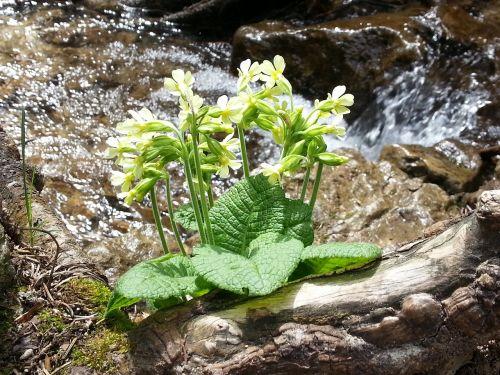 cowslip flower water