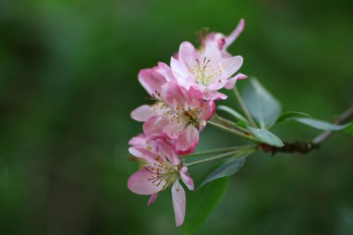 flower apple malus