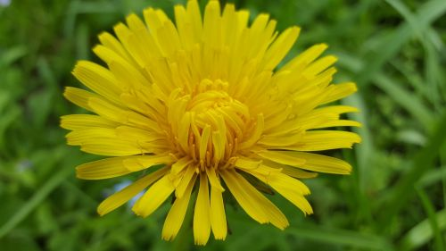 flower spring sonchus oleraceus