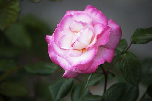 flower pink gentle