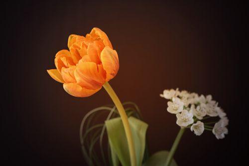 flower tulip orange flower