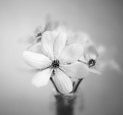 flower hepatica vase