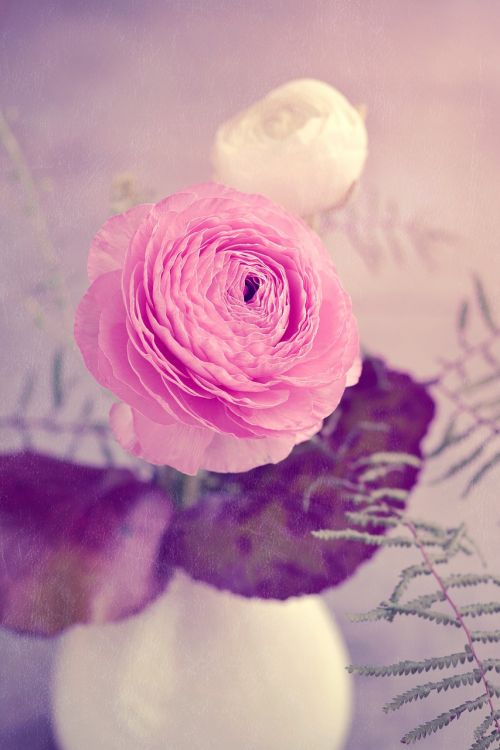 flower ranunculus pink