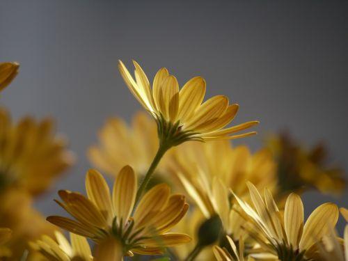 cape daisies yellow orange
