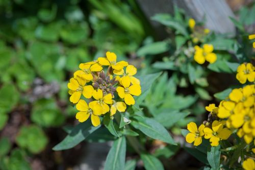 flower yellow rock stone herb