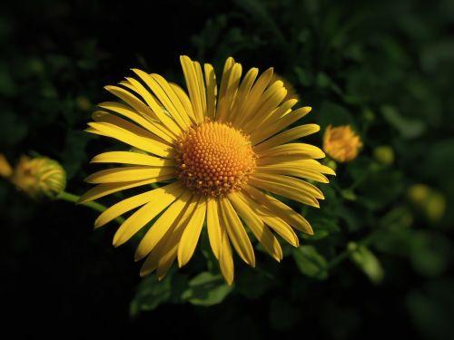 gėlė,vasaros gėlė,geltona gėlė,geltona,gamta,sodo gėlė,augalas,sodas,natūrali gėlė,Iš arti,žiedlapis,daugiametis,sodo augalas,žiedynas